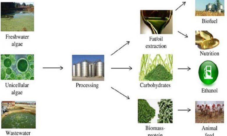 در سالهای گذشته استفاده از میکروجلبکها برای تولید روغنهای زیستی یا سوختهای زیستی مورد توجه قرار گرفته است تا آنها را بهعنوان جایگزین منابع سوختهای فسیلی رایج معرفی کنند. تحقیقات اخیر نشان میدهد که تولید سوختهای زیستی مبتنی بر میکروجلبک از نظر اقتصادی پایدار نیست. به همین دلیل، علاقه به بهرهبرداری از زیستتوده میکروجلبک برای سایر کاربردهای زیستی یا ادغام با سایر فناوریها برای جبران هزینههای فرآوری میکروجلبکها در حال افزایش است.