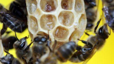 Photo of کشف تک ژن بکرزایی در زنبور عسل