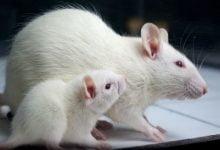 Photo of تأثیر ورزش هوازی و رژیم غذایی بر بافت بیضه و عملکرد اسپرم