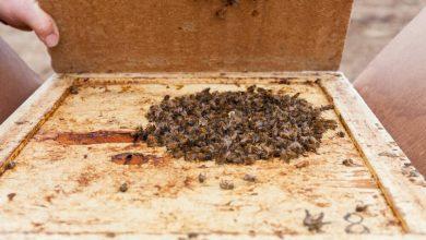 Photo of استفاده از ریزجلبک به عنوان غذای زنبورعسل