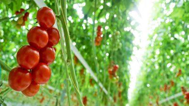 Photo of کاربرد میکروبیوم برای بهبود محصولات کشاورزی