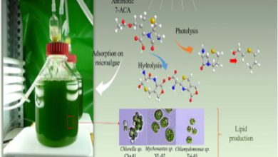 Photo of از بین بردن آنتی بیوتیک های فاضلاب توسط ریزجلبک