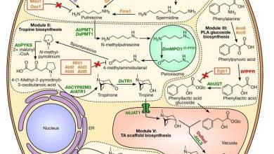 Photo of تولید آلکالوئیدهای دارویی گیاهی در مخمر با جاسازی 26 ژن
