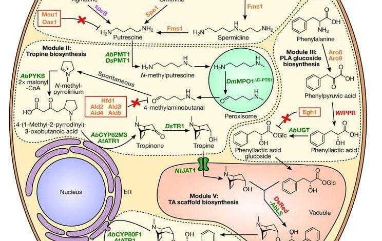 بیان هترولوگ (تولید پروتئین در میزبانی غیر از گونه دارنده اصلی ژنوم کد کننده ژن های مدنظر) 26 ژن در مخمر ساکارومایسز سرویزیه سبب امکان تولید تروپِین آلکالوئیدها، هیوسیامین و اسکوپولامین از طریق تخمیر شده است.