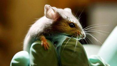 Photo of درمان فلج حرکتی در موشها توسط دانشمندان آلمانی